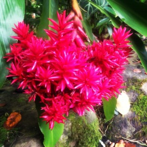 Heart Flower in Hawaii