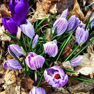 spring_flowers17